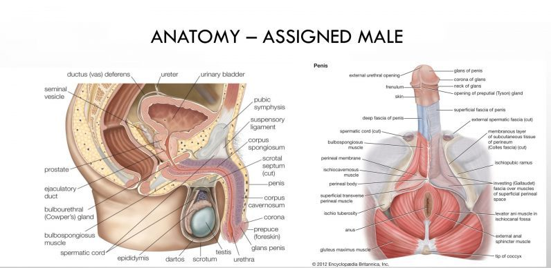 Assigned male genital anatomy